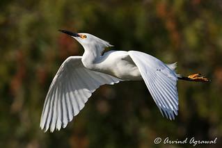 Snowy Egret - IMG_3989