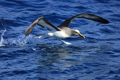 Running on Water Buller's Albatross Thalassarche bulleri Forty-Fours Chatham Archipelago New Zealand