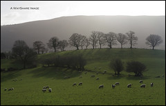 Morning light, fields and hill (WayShare) Tags: trees light silhouette sheep hill farmland fields powys builth