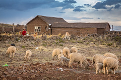 2014-09-24_22-09-209999 (Catherine Gidzinska and Simon Gidzinski/grainconno) Tags: house holiday peru southamerica animal lady rural sheep geckos sillustani puno 2014 punoregion