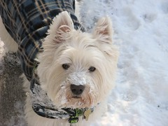 "1/12B ~ Riley ~ ""Just trying to help"" (ellenc995) Tags: snow riley westie sidewalk westhighlandwhiteterrier snowplow coth supershot fantasticnature akob abigfave pet500 pet100 rubyphotographer 100commentgroup alittlebeauty challengeclub coth5 naturallywonderful ruby10 ruby5 thesunshinegroup sunrays5 12monthsfordogs15"