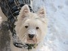 """1/12B ~ Riley ~ """"Just trying to help"""" (ellenc995) Tags: snow riley westie sidewalk westhighlandwhiteterrier snowplow coth supershot fantasticnature akob abigfave pet500 pet100 rubyphotographer 100commentgroup alittlebeauty challengeclub coth5 naturallywonderful ruby10 ruby5 thesunshinegroup sunrays5 12monthsfordogs15"""