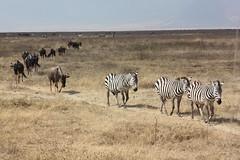 Zebra Leading Wildebeest