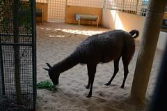 It was difficult to get a clear picture (oldandsolo) Tags: fauna zoo uae llama abudhabi unitedarabemirates camelid zoologicalgardens lamaglama emiratesparkzoo samhaabudhabi