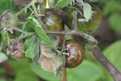 IMG_0002  Solanum lycopersicum (h35312) Tags:  solanum solanaceae lycopersicum solanales img0002