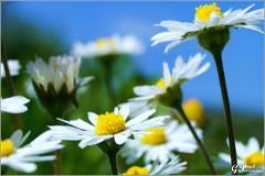 PETALES ET COULEURS (Gilles Poyet photographies) Tags: fleurs soe auvergne puydedme clermontferrand autofocus pquerettes aplusphoto artofimages parcdemontjuzet rememberthatmomentlevel1