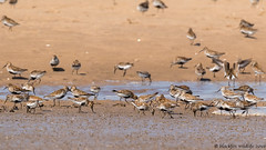 the gathering (blackfox wildlife and nature imaging) Tags: wales canon wildlife waders dunlin ringedplover deeestuary 80d talacrebeach sigma150600mmossport