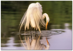 Every feather has to be perfect (jeannie'spix) Tags: water whiteheron wakodahatchee