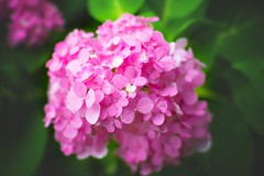 Hydrangea (Trịnh Ngọc Đại) Tags: park pink blue light red white plant flower green nature colors leaves garden purple grow diversity pot maintenance fragrant vegetation bloom vase species hydrangea bushes sterile genus hortensia macrophylla angiosperms eudicots cornales asterids guentermanaus