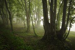 1090 (Keiichi T) Tags: leaf  tree  eos morninghaze 6d green   fog  shadow  canon haze mist    morning japan forest light