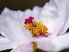 It's no phoney, it's a peony. (von8itchfisk) Tags: flower macro nature fleur garden outside peony cupcake mygarden phoney battisford vonbitchfisk