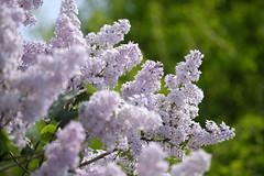 Lilac (kurupa_m) Tags: pink summer plant flower tree spring lilac xt10