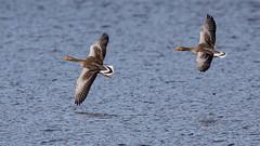 Greylag Geese (rstewartb) Tags: people nature birds fauna scotland photographer unitedkingdom goose gb greylaggoose achnacarry rjns