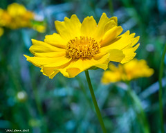 Simply Yellow (that_damn_duck) Tags: plant flower nature yellow unitedstates southcarolina pedals