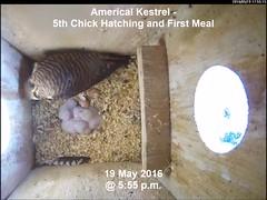 American Kestrel - 5th Chick Hatched of 2016 Season (Darin Ziegler) Tags: urban colorado nest young coloradosprings prey americankestrel nestbox sparrowhawk falcosparverius vivotekfd8151vnetworkcamera