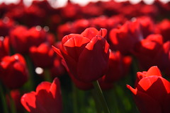 Life throws challenges and every challenge comes with rainbows and lights to conquer it. (Pics4life.nl) Tags: red holland color nature licht bokeh natur nederland natuur nl rood tulp bollenveld tulpenveld