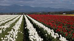 Tulip Fest (8 of 26) (evan.chakroff) Tags: flowers festival washington spring unitedstates tulips tulip april mountvernon tulipfestival mtvernon roozengaarde 2016