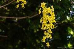 Hanging Beauty (Kumaravel) Tags: india flower green nature yellow nikon dof bokeh crop chennai kumar cassiafistula kumaravel goldenshowertree sarakondrai  d3100