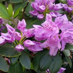 I colori della primavera (Luciana.Luciana) Tags: flowers primavera spring colours fiori colori printemps frhling lilla