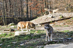 DSC_0309 (d90-fan) Tags: autumn animals tiere herbst hirsch braunbr brownbear geier waschbr wolfes luchs badmergentheim wlfe