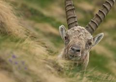 Alpine Ibex (marypink) Tags: closeup focus pov piemonte bovidae mammalia artiodactyla caprinae parconazionalegranparadiso ceresolereale valleorco nikkor80400mmf4556 nikond7200