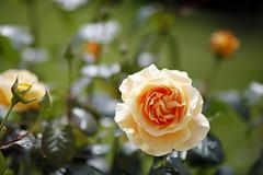 FleursMaison_20160606_005 (bourjean29) Tags: france bretagne printemps finistre 135mmf2l bourgeoisjean