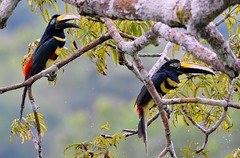 Many-banded Aracari's in the Yasuni National park canopy of the Equadorian Amazon Basin. (One more shot Rog) Tags: bird nature birds toucan high ecuador wings rainforest wildlife beak tress toucans beals amazonbasin aracari onemoreshotrog ecuadorianrainforest rogersargentwildlifephotography canaop rianforsetbirds