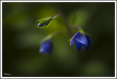 Blue beauty (salas-3) Tags: 40mm picture photo photography macro green blue flower