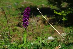 L'Estagnon (Arige) (PierreG_09) Tags: orchid lac orquidea hers pyrnes orchide pirineos orchis arige tourbire couserans lestagnon