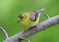 Chardonneret femelle (Marie-Helene Abitibi) Tags: oiseau abitibi valdor mariehelene chardonneret mariehlne