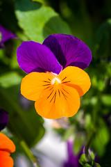 Simple (Alexandre LAVIGNE) Tags: macro nature fleurs rouge lumire couleur verdure ambiance penses feuillage tches louisengival smcpentaxdfamacro128100mmwr pentaxk3 defautschromatiques
