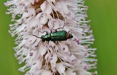 little green Bug (Hugo von Schreck) Tags: macro bug insect outdoor makro insekt kfer onlythebestofnature tamron28300mmf3563divcpzda010 canoneos5dsr hugovonschreck