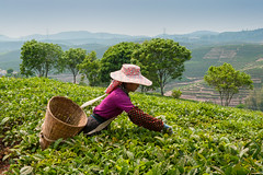 144032317 (gain.alliance) Tags: china man hat bush basket tea crop plantation sheet farmer agriculture yunnan province teaplantation peoplesrepublicofchina xishuangbanna tealeaf teaplant teagathering dadugangxiang