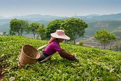 144032317 (gain.alliance) Tags: china man hat bush basket tea crop plantation sheet farmer agriculture yunnan province teaplantation peoplesrepublicofchina xishuangbanna tealeaf teaplant teagathering dadugangxiang