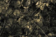 Growth and Decay (Netsrak) Tags: wood light shadow leaves licht leaf eifel treetrunk trunk trunks blatt bltter schatten stamm baumstamm stmme