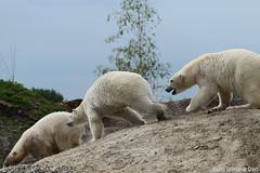 Ijsberen, Wildlands-7644 (Josette Veltman) Tags: zoo arctic ijsbeer icebear emmen dierentuin icebears noordpool roofdier wildlands ijsberen
