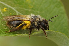 Andrena vaga, female resting on a Salix caprea shrub after collecting pollen on Taraxacum officinale (henk.wallays) Tags: