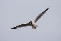 Black Headed Gull.-8672 (WendyCoops224) Tags: black canon eos suffolk gull flight headed 70d 100400mml wendycooperspringwatch