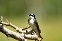 Tree Swallow (jvalentine300) Tags: bird d750 swallow tamaron