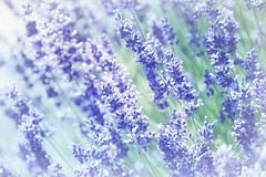 Bathing In Light (Small and Beautiful) Tags: lavender field blue sun beauty flower d3100 nikon nature perfume brilliant