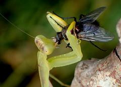 Giant African Mantis Sphodromantis Eating a Fly (bugldy99) Tags: green animal mantis insect eating arthropoda mantid arthropod hexapod insecta hexapoda mantodea mantidae mantinae