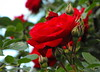 Red roses (Stella VM) Tags: flowers red roses rose garden spring redrose redroses роза пролет цветя градина рози червени