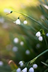Summer snowflake (daniellih) Tags: snowflake flowers summer plant flower june australia melbourne victoria churchill phillipisland summersnowflake 2016 canonbody nikonlens leucojumaestivum freelens freelensing daniellih