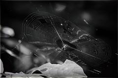 web spinner (Black Hound) Tags: sony a500 minolta spider spiderweb web monochrome ridleycreekstatepark