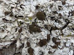 Lobaria amplissima on ash tree (aburgh) Tags: lobaria cephalodia scotland isleofskye corticolous foliose lichen macrolichens blsfieldmeeting