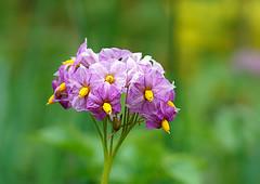 Potato flowers (SteveJM2009) Tags: uk flower june garden vegetable potato dorset blooms bournemouth stevemaskell 2016