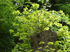 Fresh lime tree foliage (seikinsou) Tags: ireland summer storm tree green linden fresh foliage damage lime sprout westmeath regrow