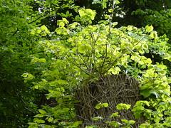 Fresh lime tree foliage (seikinsou) Tags: ireland summer storm tree green linden fresh foliage damage lime sprout westmeath regrow