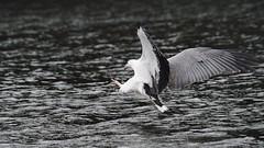 _4SJ8445-r5 (4mpx) Tags: sydney seaeagle australianbird brokenbay nikond4s tamron150600mm