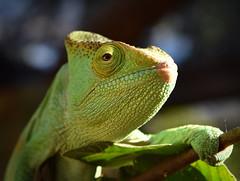 Chameleon, Madagascar (Rod Waddington) Tags: wild portrait green nature animal forest forrest outdoor wildlife lizard chameleon madagascar malagasy